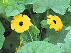 Black-Eyed Susan Vine (Thunbergia alata) at Garden Treasures