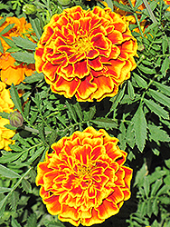 Safari Queen Marigold (Tagetes patula 'Safari Queen') at Garden Treasures