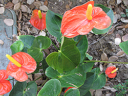 Florida Anthurium (Anthurium andraeanum 'Florida') at Garden Treasures