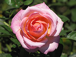 Elle Rose (Rosa 'Elle') at Garden Treasures