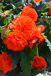 Nonstop® Orange Begonia (Begonia 'Nonstop Orange') at Garden Treasures