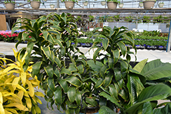 Dorado Dracaena (Dracaena fragrans 'Dorado') at Garden Treasures