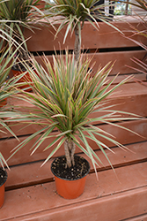 Colorama Dracaena (Dracaena marginata 'Colorama') at Garden Treasures