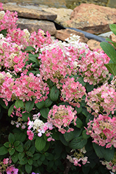 Little Quick Fire® Hydrangea (Hydrangea paniculata 'SMHPLQF') at Garden Treasures