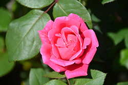 Pink Double Knock Out® Rose (Rosa 'Radtkopink') at Garden Treasures