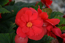 Nonstop® Red Begonia (Begonia 'Nonstop Red') at Garden Treasures