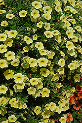 Cabaret® Yellow Calibrachoa (Calibrachoa 'Cabaret Yellow') at Garden Treasures