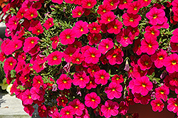 Cabaret® Cherry Rose Calibrachoa (Calibrachoa 'Cabaret Cherry Rose') at Garden Treasures