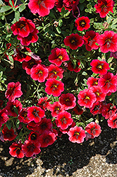 Superbells® Pomegranate Punch Calibrachoa (Calibrachoa 'Superbells Pomegranate Punch') at Garden Treasures