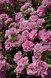 Surfinia® Summer Double Pink Petunia (Petunia 'Surfinia Summer Double Pink') at Garden Treasures