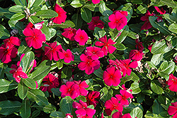 Titan™ Burgundy Vinca (Catharanthus roseus 'Titan Burgundy') at Garden Treasures