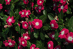 Titan™ Rose Halo Vinca (Catharanthus roseus 'Titan Rose Halo') at Garden Treasures