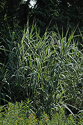 Peppermint Stick Giant Reed Grass (Arundo donax 'Peppermint Stick') at Garden Treasures