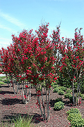 Red Rocket Crapemyrtle (Lagerstroemia indica 'Whit IV') at Garden Treasures