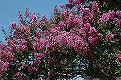Catawba Crapemyrtle (Lagerstroemia indica 'Catawba') at Garden Treasures