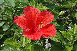 Red Hibiscus (Hibiscus rosa-sinensis 'Red') at Garden Treasures