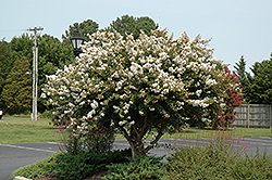 Acoma Crapemyrtle (Lagerstroemia 'Acoma') at Garden Treasures