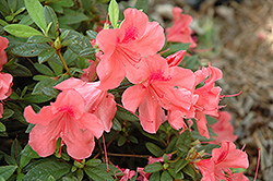 Encore® Autumn Coral™ Azalea (Rhododendron 'Conled') at Garden Treasures