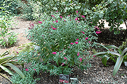 Miss Ruby Butterfly Bush (Buddleia davidii 'Miss Ruby') at Garden Treasures
