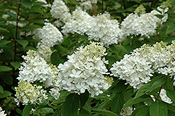 Fire And Ice Hydrangea (Hydrangea paniculata 'Wim's Red') at Garden Treasures