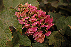 Ruby Slippers Hydrangea (Hydrangea quercifolia 'Ruby Slippers') at Garden Treasures