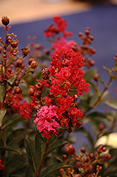Enduring Summer™ Red Crapemyrtle (Lagerstroemia 'PIILAG B5') at Garden Treasures