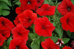 Potunia Dark Red Petunia (Petunia 'Potunia Dark Red') at Garden Treasures