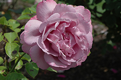 Heirloom Rose (Rosa 'Heirloom') at Garden Treasures
