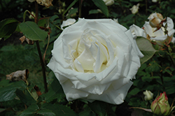 Pope John Paul II Rose (Rosa 'Pope John Paul II') at Garden Treasures