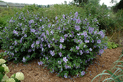 Blue Chiffon® Rose of Sharon (Hibiscus syriacus 'Notwoodthree') at Garden Treasures
