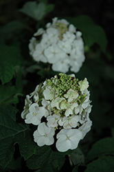 Jetstream™ Hydrangea (Hydrangea quercifolia 'PIIHQ-I') at Garden Treasures