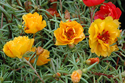 Sundial Yellow Portulaca (Portulaca grandiflora 'Sundial Yellow') at Garden Treasures