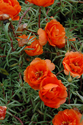 Sundial Orange Portulaca (Portulaca grandiflora 'Sundial Orange') at Garden Treasures