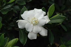 Double Mint Gardenia (Gardenia jasminoides 'Double Mint') at Garden Treasures