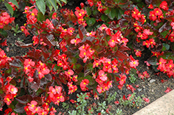 BabyWing® Red Begonia (Begonia 'BabyWing Red') at Garden Treasures