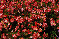 BabyWing® Bicolor Begonia (Begonia 'BabyWing Bicolor') at Garden Treasures