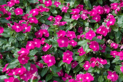Cobra Purple Eye Vinca (Catharanthus roseus 'Cobra Purple Eye') at Garden Treasures