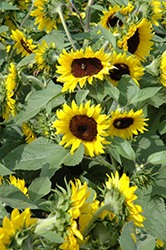Sunsation Flame Sunflower (Helianthus annuus 'Sunsation Flame') at Garden Treasures