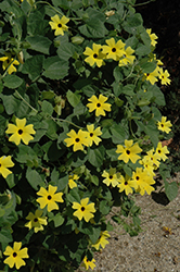 Lemon Star Black-Eyed Susan (Thunbergia alata 'Lemon Star') at Garden Treasures