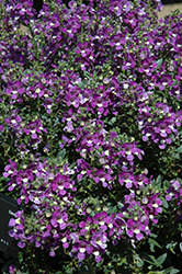 Alonia Big Violet Angelonia (Angelonia angustifolia 'Alonia Big Violet') at Garden Treasures