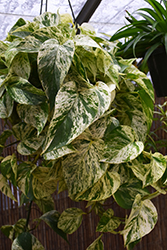 Marble Queen Golden Pothos (Epipremnum aureum 'Marble Queen') at Garden Treasures