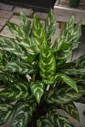 Gemini Chinese Evergreen (Aglaonema 'Gemini') at Garden Treasures