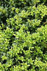 Soft Touch Japanese Holly (Ilex crenata 'Soft Touch') at Garden Treasures