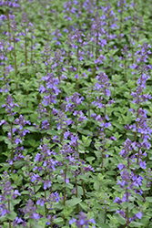 Blue Wonder Catmint (Nepeta x faassenii 'Blue Wonder') at Garden Treasures