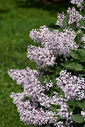 Miss Kim Lilac (Syringa patula 'Miss Kim') at Garden Treasures