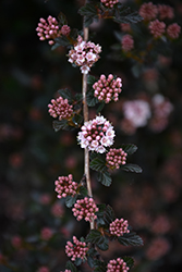 Little Devil™ Ninebark (Physocarpus opulifolius 'Donna May') at Garden Treasures