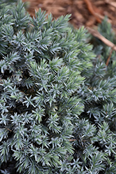 Blue Star Juniper (Juniperus squamata 'Blue Star') at Garden Treasures