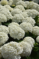 Incrediball® Hydrangea (Hydrangea arborescens 'Abetwo') at Garden Treasures
