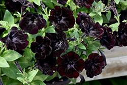 Black Velvet Petunia (Petunia 'Black Velvet') at Garden Treasures