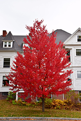 Sun Valley Red Maple (Acer rubrum 'Sun Valley') at Garden Treasures